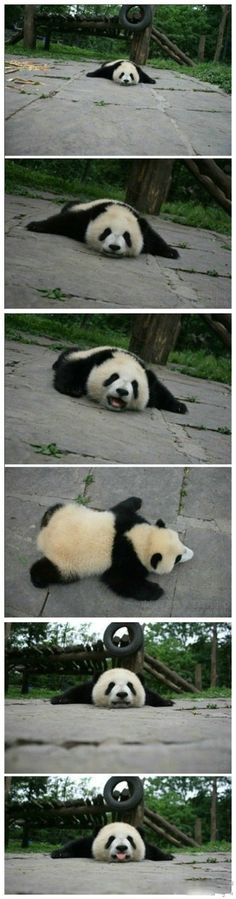 I want to be a panda  <a href='/search?q=Panda' class='pintag' title='#Panda search Pinterest'>#Panda</a>