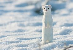 White Short-Tailed Weasel Photography By: Lauri Mikonranta