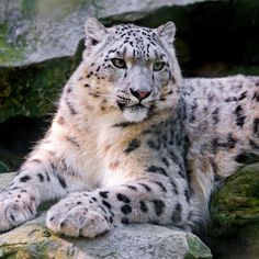 Snow Leopard Big Cat Carnivore Lay #Retina #iPad #Air #wallpaper