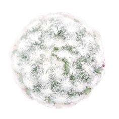 Mammillaria Plumosa 'Feathe... Cool Plants, Air Plants, Cactus Plants, Cacti, Echeveria Care, Golden Barrel Cactus, Sedum Plant, Succulents Online, Blue Candles