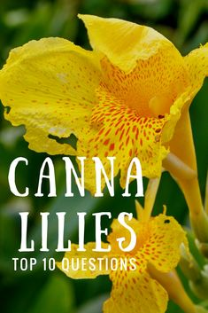 The stunning canna lily is fairly low maintenance but even so can have a gardener scratching his or her head. Get the answers to the 10 most commonly asked questions about canna lily plants. Canna Lily Landscaping, Landscaping Plants, Gardening Magazines, Gardening Tips, Organic Gardening, Canna Lily Care, Outdoor Plants, Outdoor Gardens, Canna Bulbs