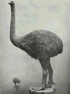 New Zealand Moa (now extinct) and native Kiwi bird. Extinct Animals, Prehistoric Animals, Extinct Birds, Tahiti, Kiwi Bird, Ostriches, Flightless Bird, Kiwiana, Tonga
