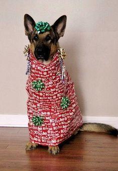 Unwrap me, before I rip you apart #GermanShepherd #dogchews http://www.petrashop.com/