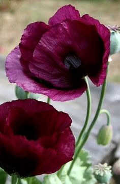 Full size picture of Opium Poppy, Breadseed Poppy, Lettuce Leaf Poppy 'Lauren's Grape' (Papaver somniferum), Valmue