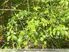 herbs Parsley, Herbs, Fruit, Herb, Medicinal Plants