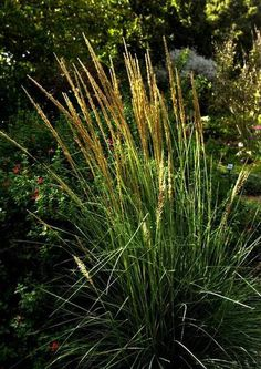 Deergrass Muhlenbergia rigens Size: 3 to 5 feet tall Bloom season: Summer Pruning needs: Cut to ground every three years to renew. Exposure: Full sun to partial shade. Water needs: Once established, water deeply every two weeks. Snapshot: Want the look of turf with less work? This grass needs mowing every three years. Tall and elegant, this California native moves with the breeze, swaying gently on a warm summer evening. Clumps can form a low, informal screen while adding interesting…