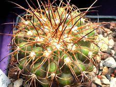 Cacti And Succulents, Plants, Succulents, Plant, Planets
