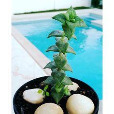 #Garden #gardening #cactus #cute #minicactus #suculentas #suculentasycactus #suculenta #plantas #succulent #succulents #vscocam #flowers #flower #succulentthoarder #instaplant #succulentobsession #succulove #succulentsofinstagram #crassula #echeveria #catus #leafandclay #cactusmovement #suckerofsucculents #epicgardening #instablooms #blue #gardenlovers #suckerforsucculents