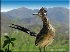 #Cricut southwest inspiration. State bird of New Mexico The Roadrunner