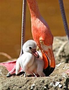 Flamingo Mom