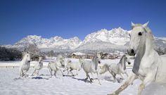 Lipizzaner im Winter, image source: Bio- und Wellnesshotel Stanglwirt - Tirol