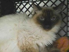 MEKA is an adoptable Ragdoll, Siamese Cat in Anchorage, AK Just 1 year old, pretty Meka has previously lived with children and other cats. She is a bit sh ... ...Read more about me on @petfinder.com