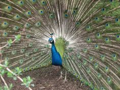 Absolutely stunning male peacock strutting his stuff at the Philly Zoo in April of 2013
