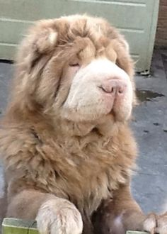 Leo Bearcoat Shar Pei