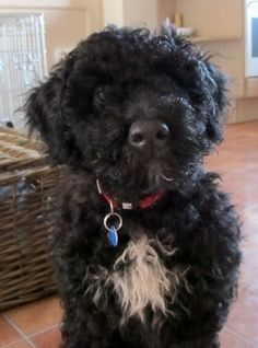 My Portugese Water Dog, Belle
