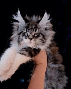 Titanium Luxury Coons ♥️👑💎 we have 10 weeks - Maine Coons - Cats Pretty Animals, Pretty Cats, Beautiful Cats, Cute Animals, Cute Cats And Dogs, Cool Cats, Cats And Kittens, What Cats Can Eat, Maine Coon Kittens