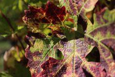Chateau Lamartine Castillon Cotes de Bordeaux . Photo Erwan Giraud 10/2018 Bordeaux, Plant Leaves, Photos, Plants, Garden, Pictures, Garten, Bordeaux Wine, Planters