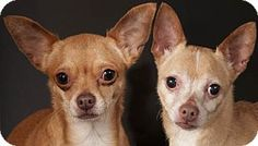 Chicago, IL - Chihuahua. Meet Mini Mini and Chico were dropped off at Chicago Animal Care & Control when their family could no longer care for them. Lucky for them, they were rescued by Famous Fido's. Mini weighs seven pounds and Chico weighs nine pounds.