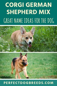 Both the Corgi and the German Shepherd are both spirited, friendly and energetic pooches. So you should expect this mix to be no different. Find unique Corgi German Shepherd mix names for your pooch to compliment their unique looks. German Shepherd Corgi Mix, Shepherd Dogs, Corgi Mix Breeds, Smartest Dog Breeds, Great Names, Mixed Breed, Unique, Animals, Animales