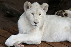 White Lion, Duncan Noakes - DreamstimeMost lions' coats are a tawny yellow-gold, and males' manes range in color from blond to rusty brown or even black. However, African lions can also be silvery yellow, grey or chocolate brown with a tan underside. The fluffy tuft at the end of a lion's tail usually fades to a black tip. African lions with a rare genetic disorder known as leucism are born with snowy-white coats, but since the condition differs from albinism, their eyes are golden, not red