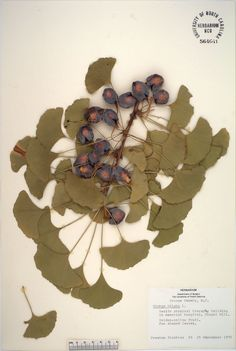 Ginkgo bilboa,  Resources for Art Students at CAPI::: Create Art Portfolio Ideas milliande.com, Art School Portfolio Work, , Botanical, Flowers, Plants, Leaves, Leaf, Stem Seed, Sketching, Herbarium