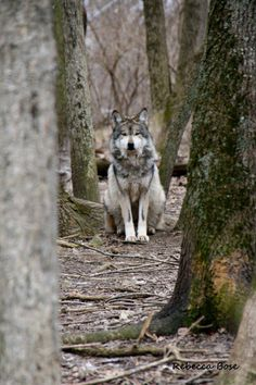 here I am #wolf #wolves #animals