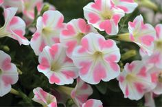 New from Suntory Flowers, Surfinia Heartbeat is an adorable novelty petunia. Elegant white flowers feature a pattern of five soft pink hearts.