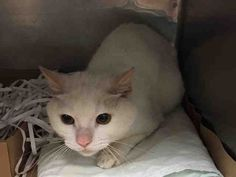 """STRIPE - A1037649 - - Brooklyn  ***TO BE DESTROYED 05/31/15**both still listed in Pet Harbor* PERFECTLY HEALTHY SNOW-WHITE BOY WILL DIE BECAUSE HE'S SCARED – PLEASE GRANT STRIPE A DEATH ROW PARDON!!! Exquisitely handsome snow-white six-year-old STRIPE, dumped into the high-kill ACC as a """"STRAY"""" boy, arrived in the shelter along with his best fur friends DOT, SPOTS (both still in the shelter) and WHITE FOOT (A1037652, still available in the Urgent alb"""