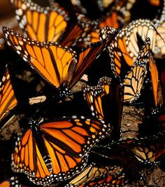 Monarch butterflies are known for the incredible mass migration that brings millions of them to California and Mexico each winter, travelling up to 3,000 miles to get there. National Geographic Great Migrations DVD.