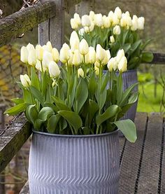 These galvanised tubs make a striking focal point stuffed full of white tulips.