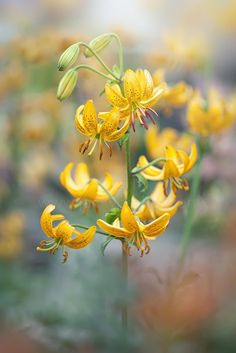 Martagon Lilies by Jacky Parker on 500px