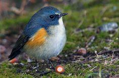 99ドングリとルリビタキ Cute Birds, Pretty Birds, Beautiful Birds, Cute Creatures, Beautiful Creatures, Bird Barn, Barn Owls, Animals And Pets, Cute Animals