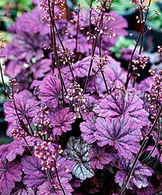 'Sugar Plum' Coral Bells (Heuchera) -- I used to have this in my garden. I love all the shades of heuchera and would have loved a whole garden of only them! Purple Garden, Shade Garden, Garden Plants, Lush Garden, Backyard Shade, Fruit Garden, House Plants, Design Jardin, Garden Design