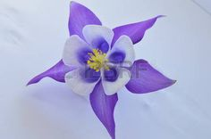 Image result for columbine flower images
