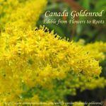 Canada Goldenrod, Solidago canadensis-  Weekly Weeder #9