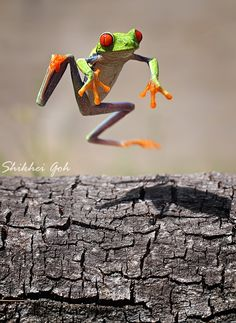 Leaping red-eyed tree frog, macro photography by Shikhei Goh. Levitation Photography, Water Photography, Macro Photography, Animal Photography, Abstract Photography, Frog Rock, Red Eyed Tree Frog, Funny Frogs, Urban Nature