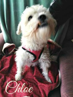 Chloe is an adoptable Maltese, Poodle Dog in Weatherford, TX Chloe is a sweety and specializes in receiving tummy rubs!Her adoption fee, as with all of ou ... ...Read more about me on @Petfinder.com.com