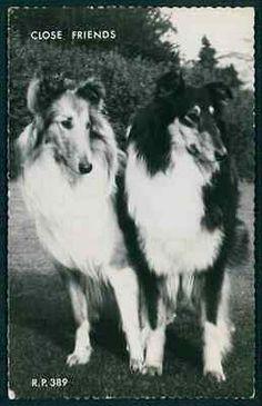 Rough Collie Lassie Dog Puppy Portrait original vintage old 1930s photo postcard