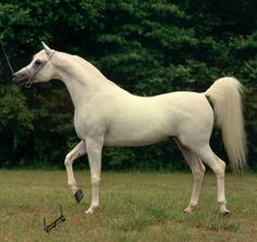 Ansata Halim Shah  (Ansata Ibn Halima x Ansata Rosetta)  1980-1995 An international champion and sire of international champions, Ansata Halim Shah is acclaimed as one of the most influential and prepotent Egyptian Arabian stallions to date, worldwide His dominant characteristics live on in his descendants EQUINE PHOTOGRAPHY by Sparagowski
