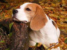 Beagle cachorro sentado tranquilo en el bosque.