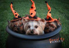 Halloween Yorkies
