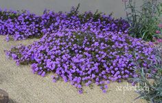 purple trailing lantana; heat tolerant, low water use, bright attractive flowers spring-fall. Can take over an area so plant in spots you want to fill quickly! - Gardening For You