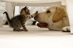 puppies and kittens pictures | Picture | Kitten | Boops Puppy's Nose | Cutearoo | Puppies, Kittens ...
