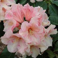 RareFind: Rare Azaleas, Rhododendrons, Trees & Shrubs, Perennials and more.  Very ruffled, 4 inches wide flowers open light salmon pink from deeper buds, fading golden peach, with a basal blotch of cardinal red. Flowers have heavy substance, and are borne in flat trusses of 10. Leaf has a slight twist. Wants shade in order to grow well.
