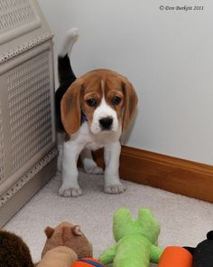 Attack of the Toys - Brody the Beagles first day