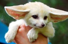 Baby Fennec Fox by floridapfe: The fennec fox, the smallest canid in the world, is a small nocturnal fox with hearing sensitive enough to hear prey moving underground. It is found in the Sahara of North Africa.