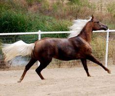 CR Moonstruck Meadow  1/2 arabian  moonrocksporthorses.com  says she's a chocolate palomino