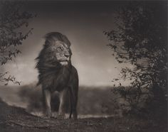 Lion before storm - Nick Brandt