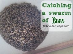 SchneiderPeeps Catching a swarm of bees Drone Bee, Bee Removal, Beekeeping For Beginners, Bee Swarm, Raising Bees, Save The Bees, Bees Knees, Queen Bees, Bee Keeping