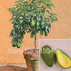 Avocado Seeds Green Fruit Very Delicious Easy to Grow, for Home Garden